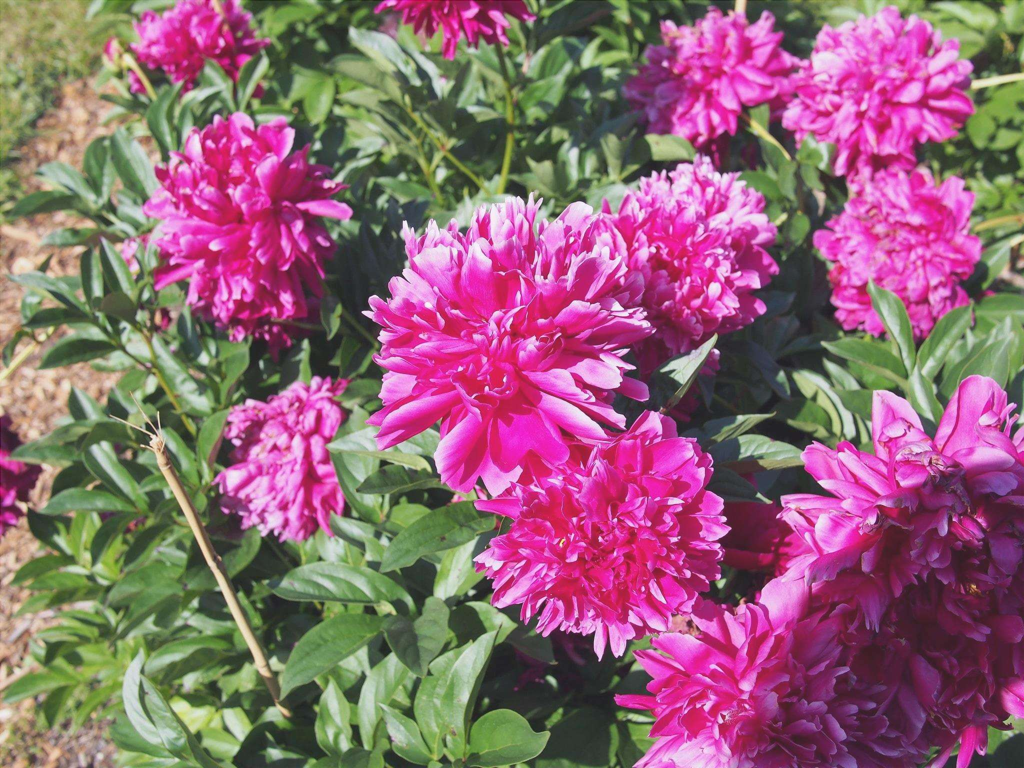 Peony Karl Ronsefield produce fiori rosa
