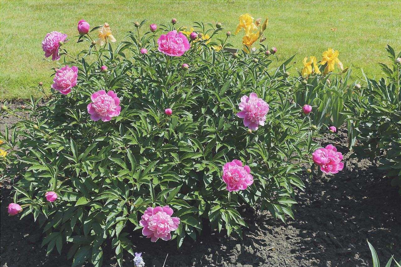 Paeonia lactiflora è una pianta perenne.