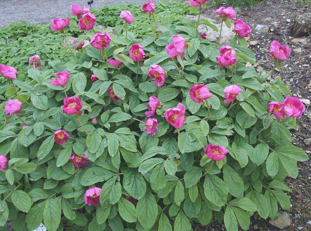 Paeonia mascula è una pianta con fiori rosa.