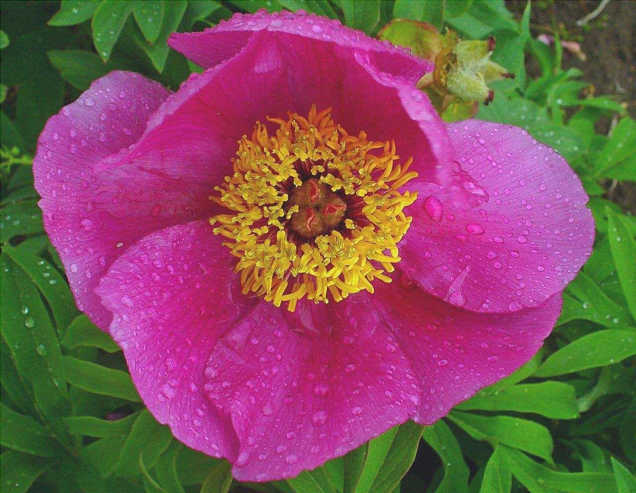 Paeonia officinalis produce fiori rosa