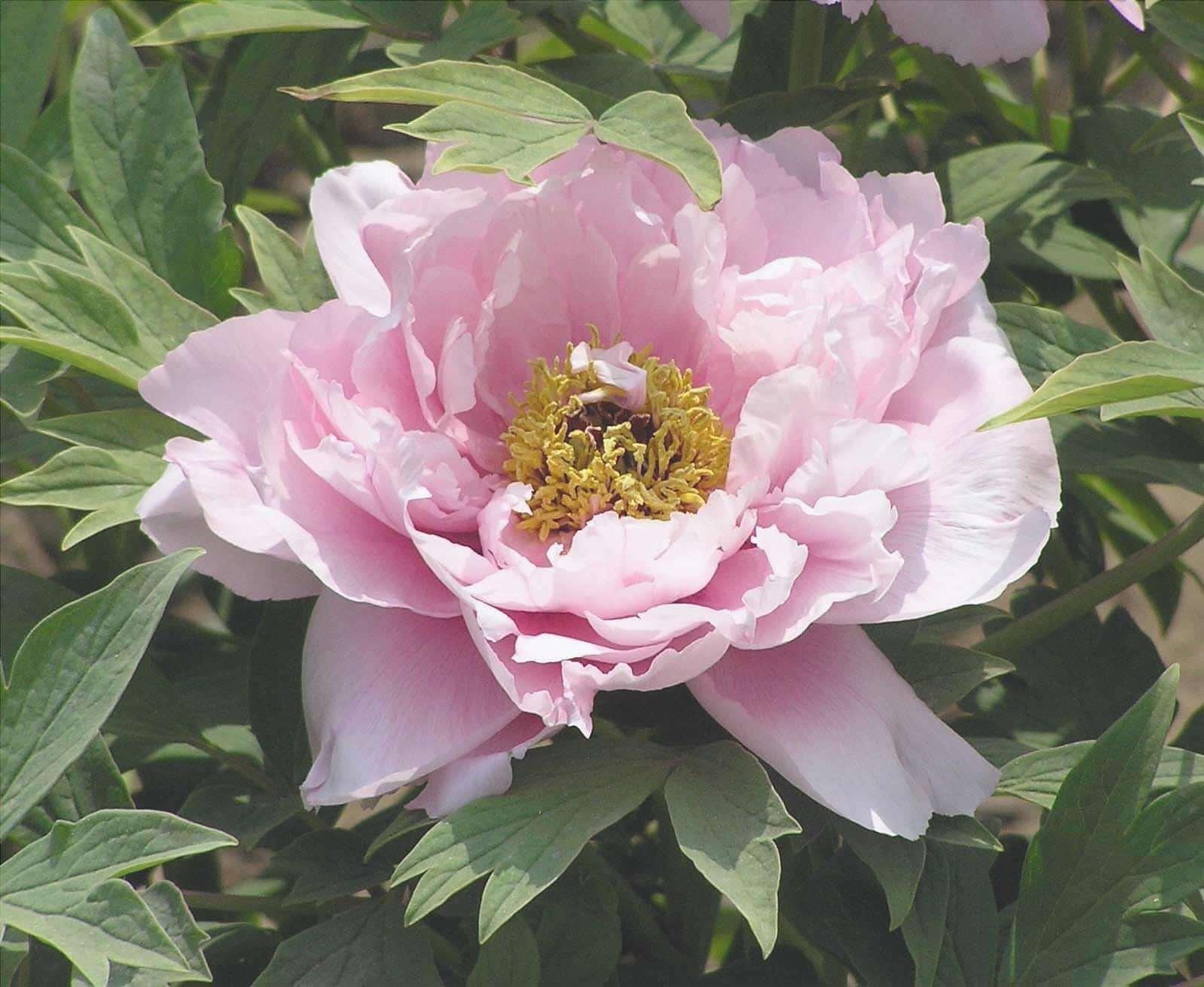 Paeonia suffruticosa è una pianta dai fiori bellissimi.