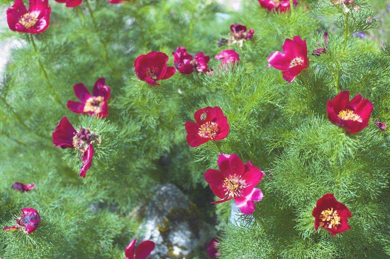 Paeonia tenuifolia è una pianta con fiori rossi.