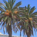 palmeras canarias