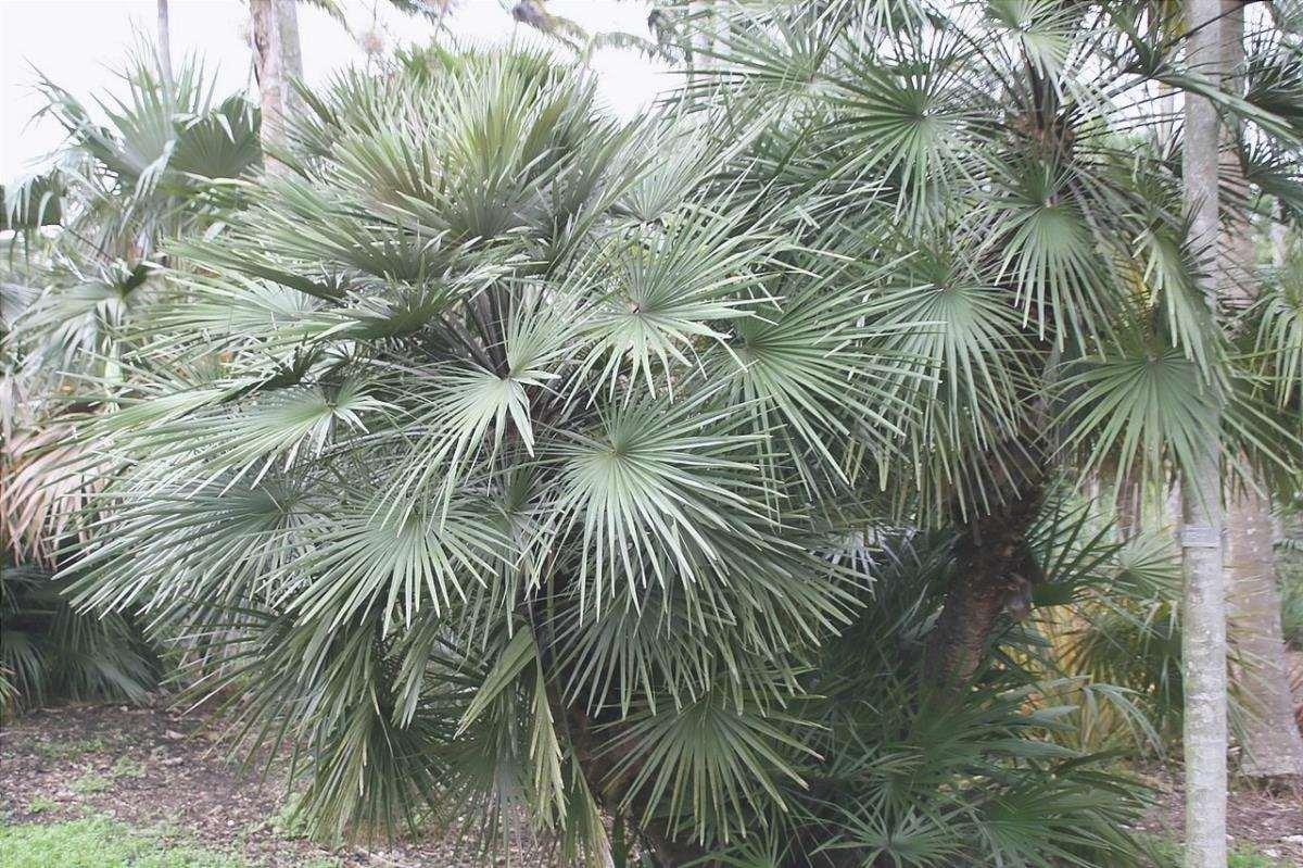 La palma a ventaglio è una palma multicaule resistente al vento.