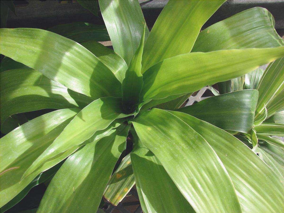 Il palissandro brasiliano è una pianta d'appartamento molto popolare.