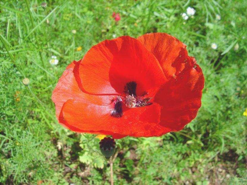 Papaver, papavero, l'icona dei fiori selvatici
