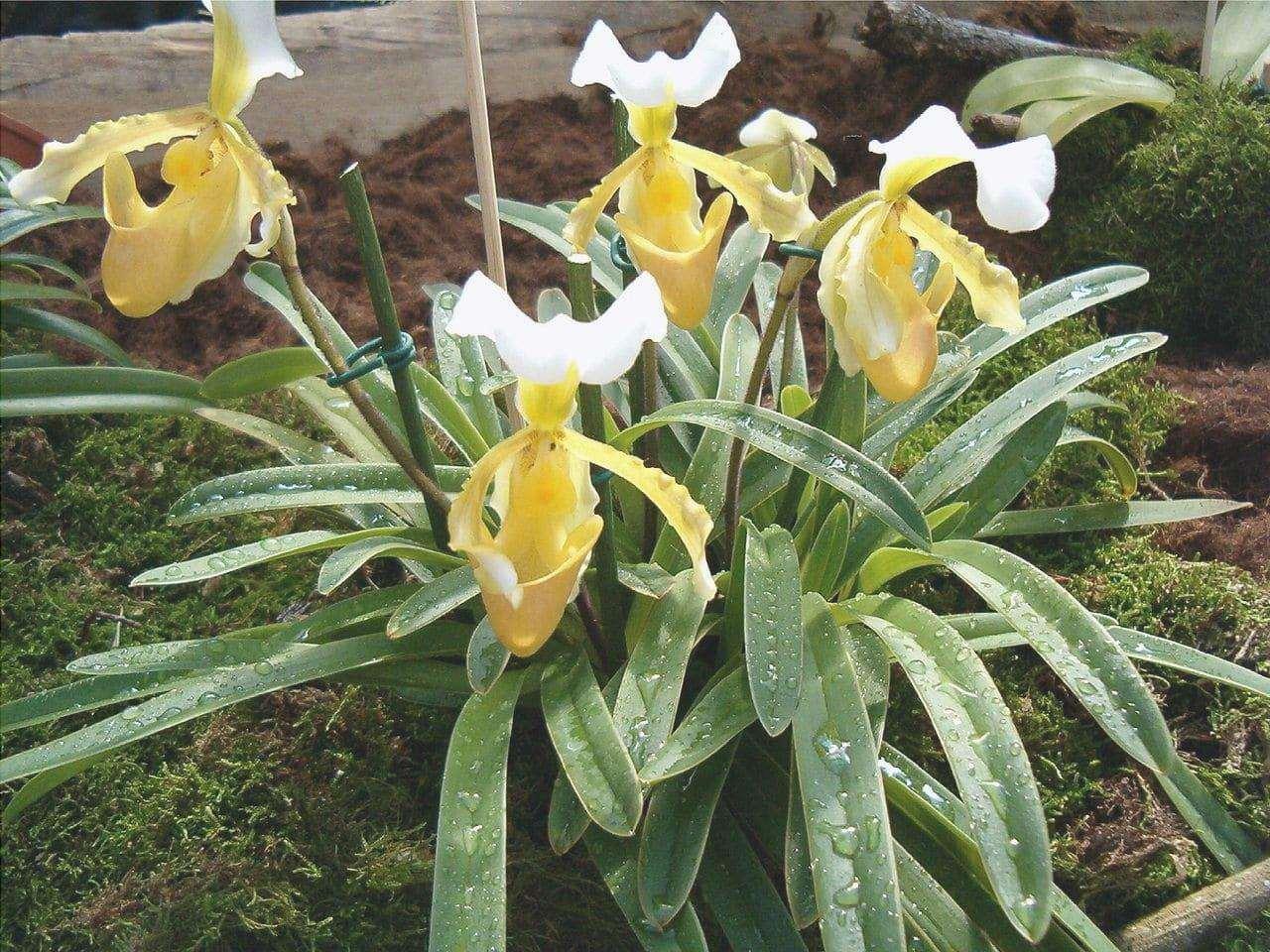 Paphiopedilum è un'orchidea terrestre.