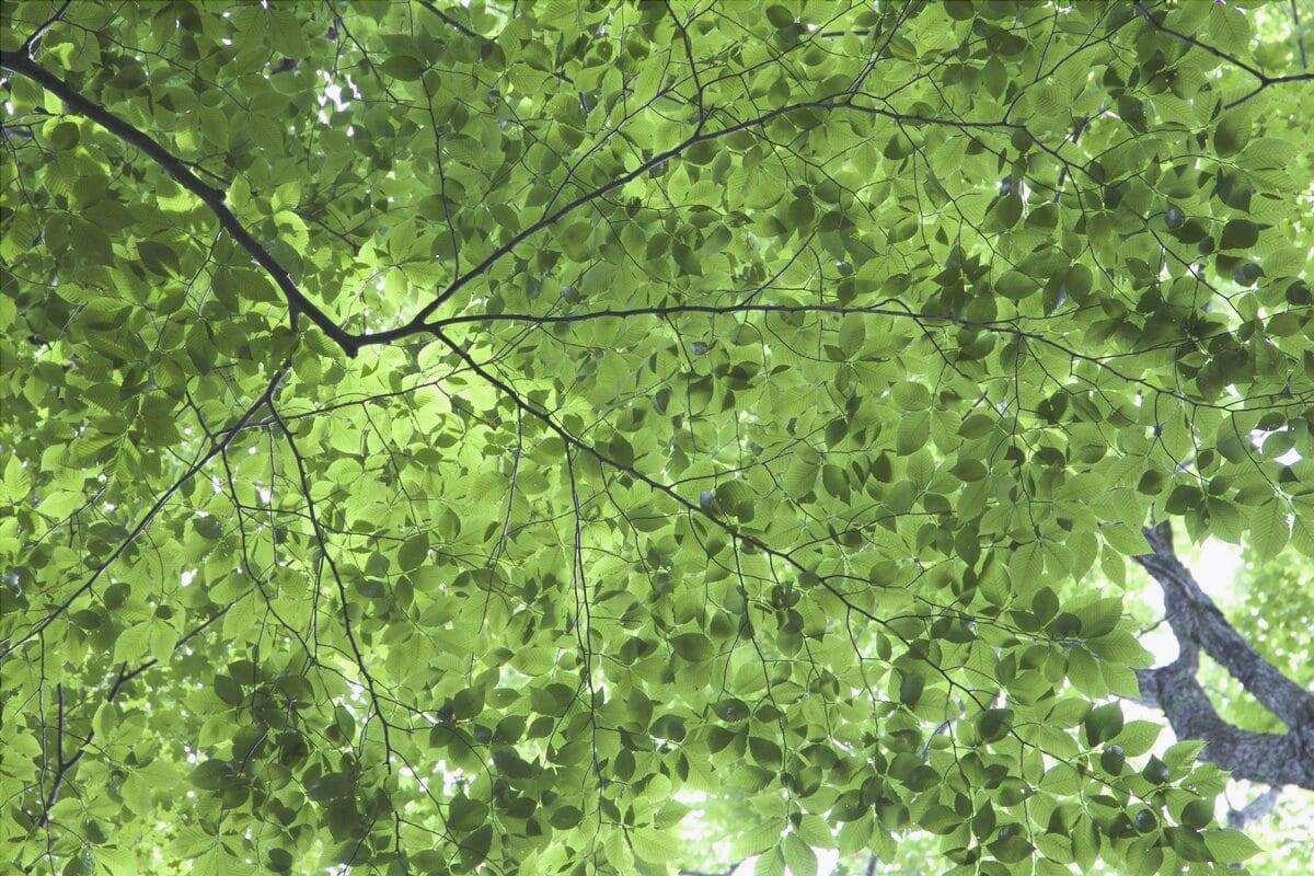 Le foglie degli alberi variano per forma e dimensione.