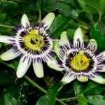 passiflora caerulea 1