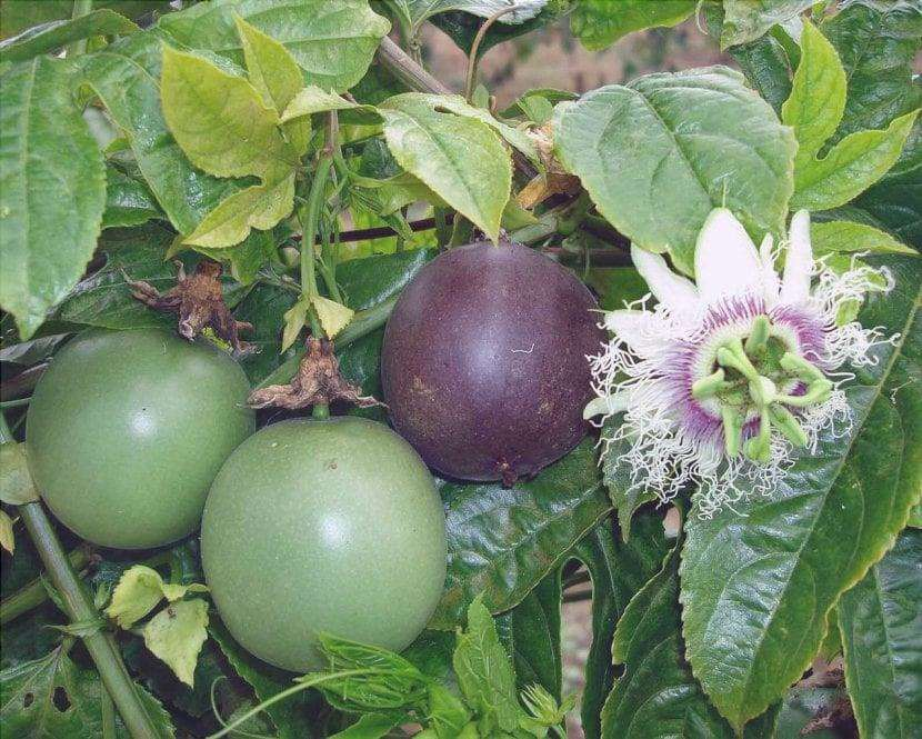 Passiflora edulis produce frutti commestibili