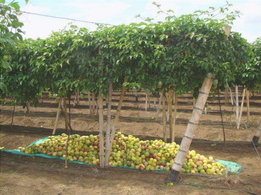 Vista di Passiflora edulis coltivata in un frutteto
