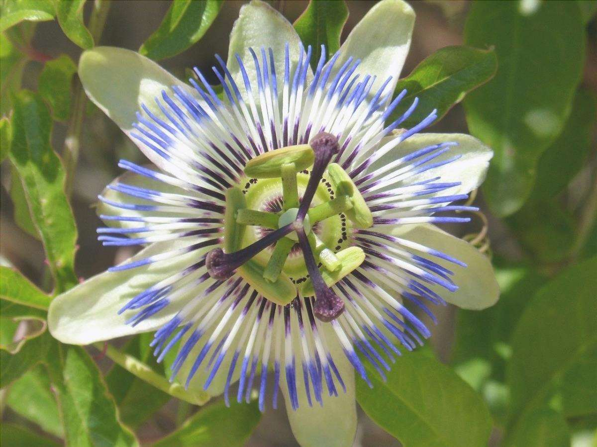 La passiflora blu è una pianta a crescita rapida.