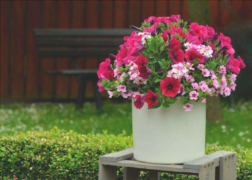 Petunia in vaso