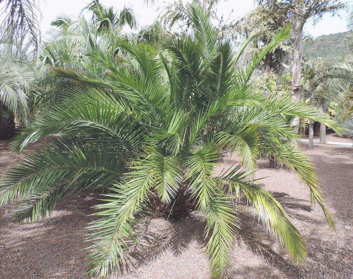 La Phoenix reclinata è una pianta tropicale da esterno.