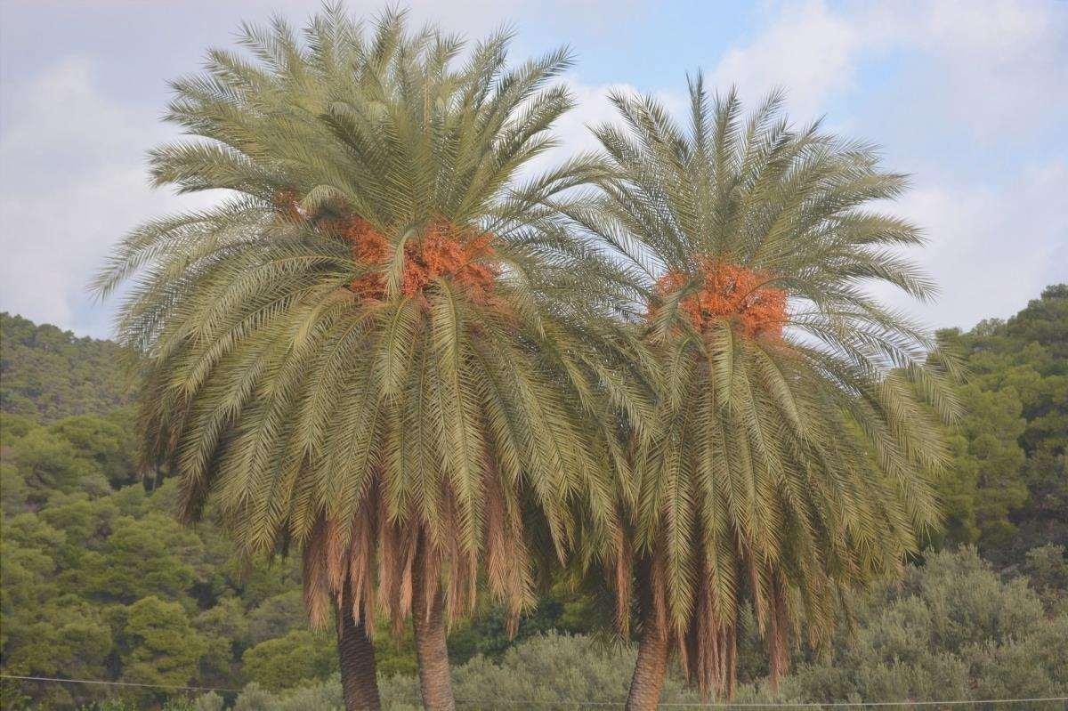 La Phoenix theoprasti è una palma multicaule.