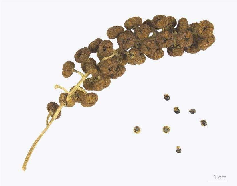 Frutti e semi dell'ombú