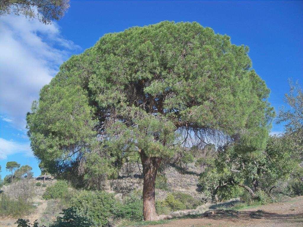 Il pino di Aleppo cresce nel Mediterraneo
