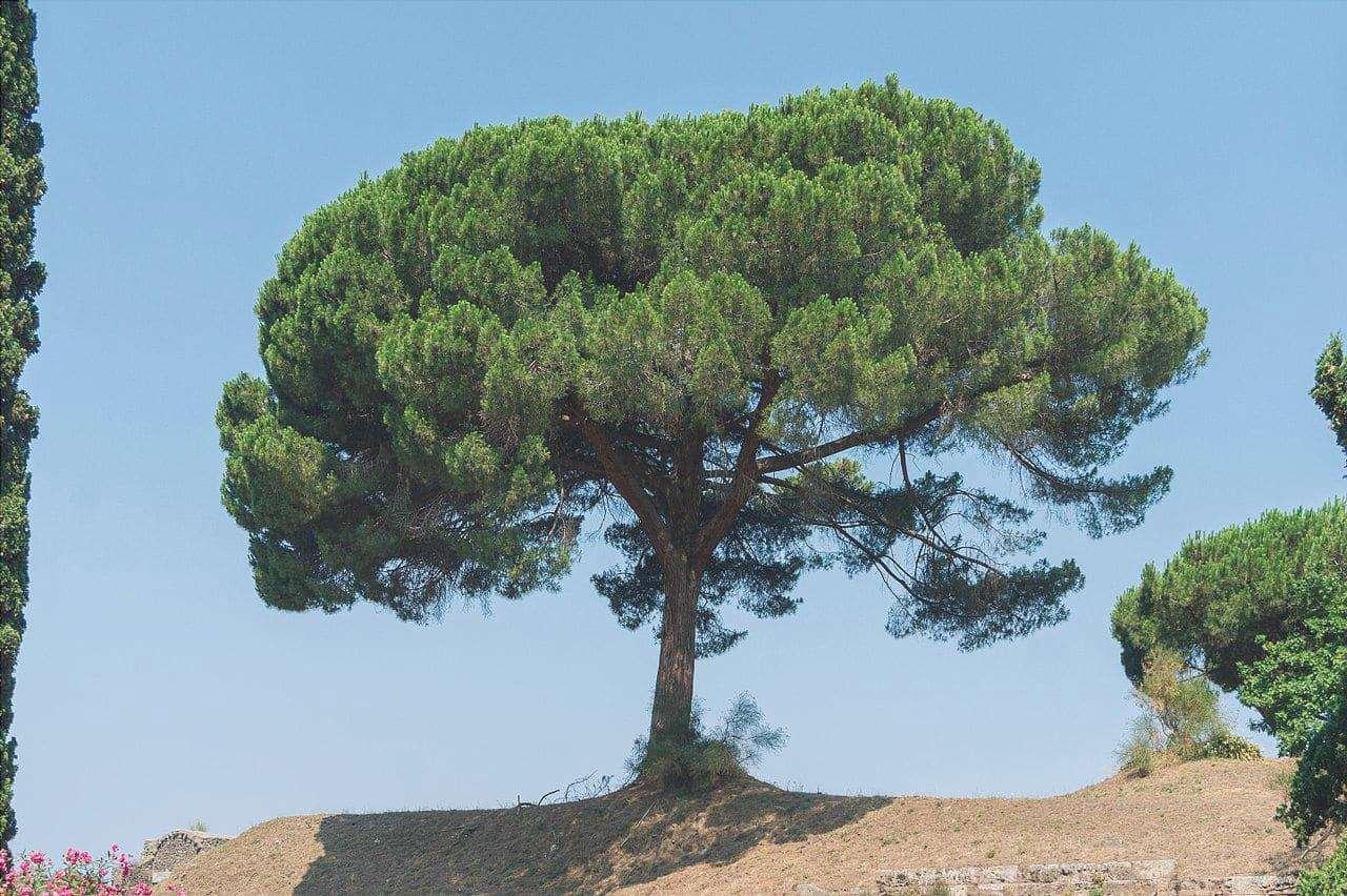 Il pino cembro è originario della Spagna.