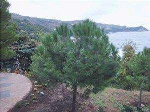 Il Pinus pinea è un albero