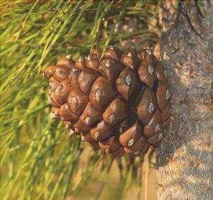 Il pino cembro è una coltura piovosa.