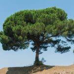 pinus pinea adulto e1608800964307