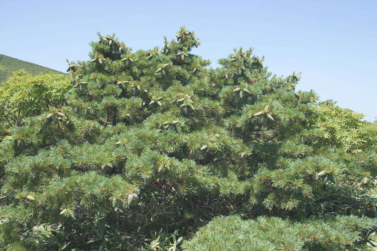 Il pino nano è una conifera sempreverde.
