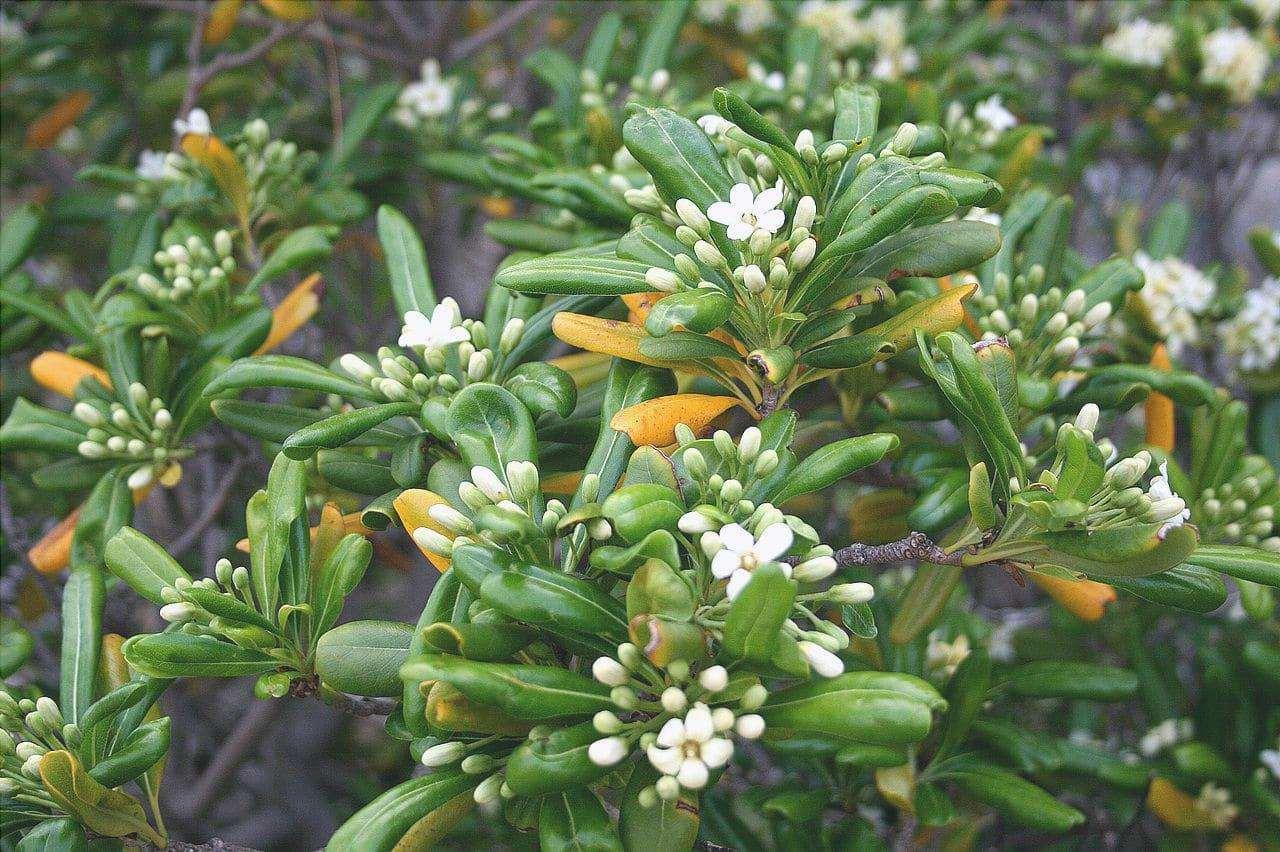 Il Pittosporum tobira è un piccolo albero sempreverde.