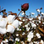 planta de algodon llamada gossipium
