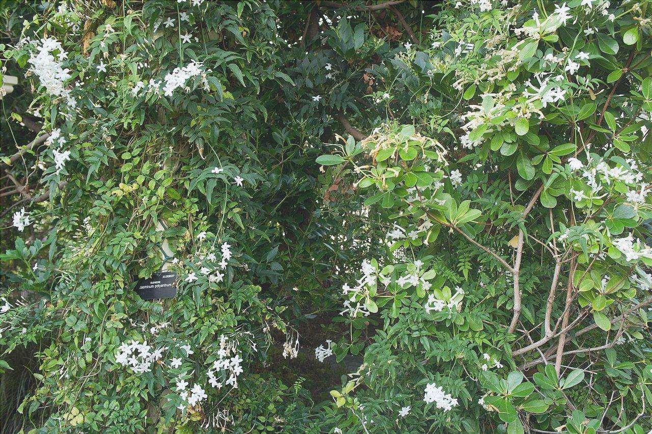 La pianta di gelsomino cinese è una pianta a crescita rapida