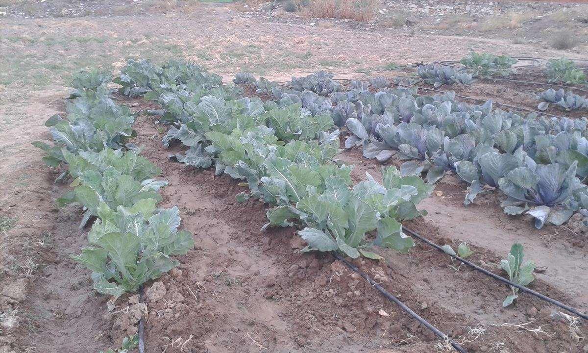 piantare broccoli