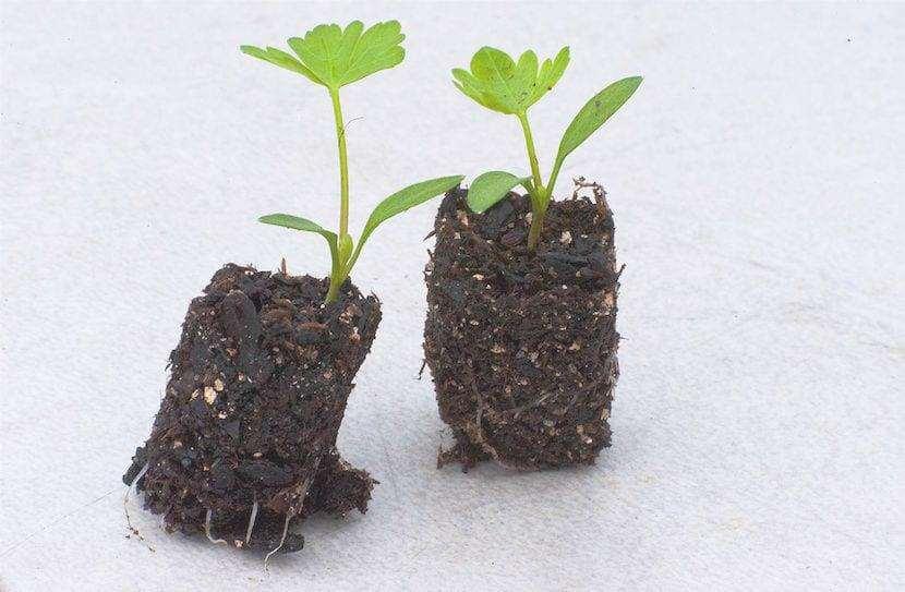 piante per il trapianto