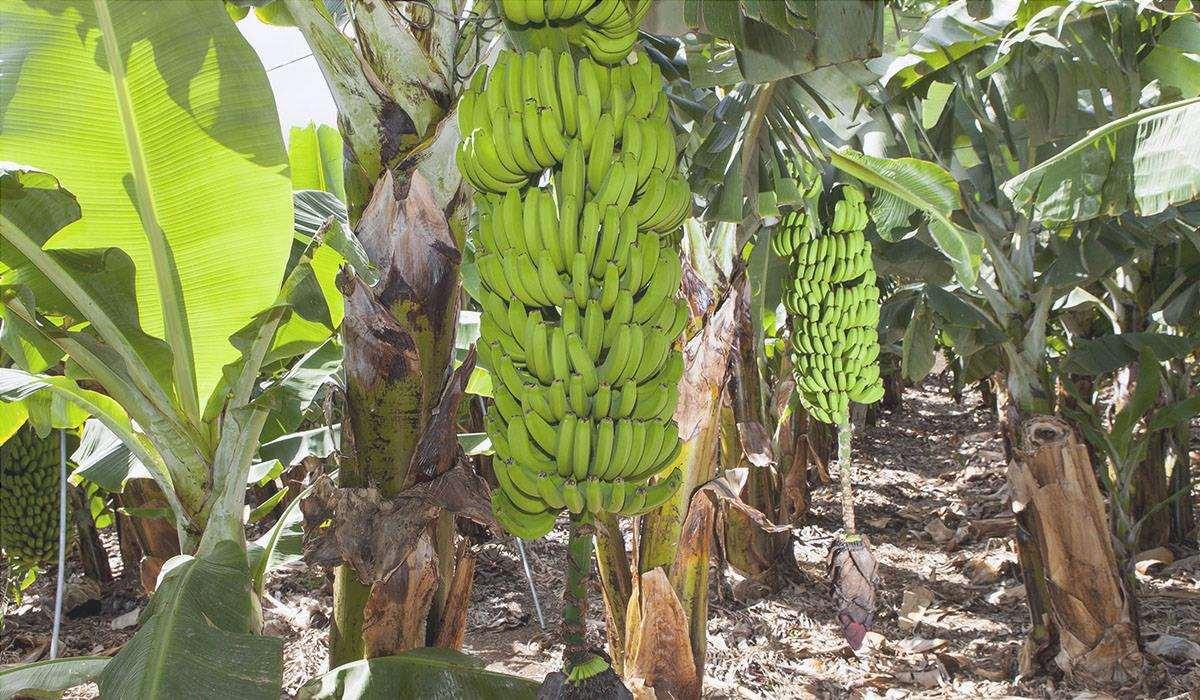 Le banane vengono raccolte in estate
