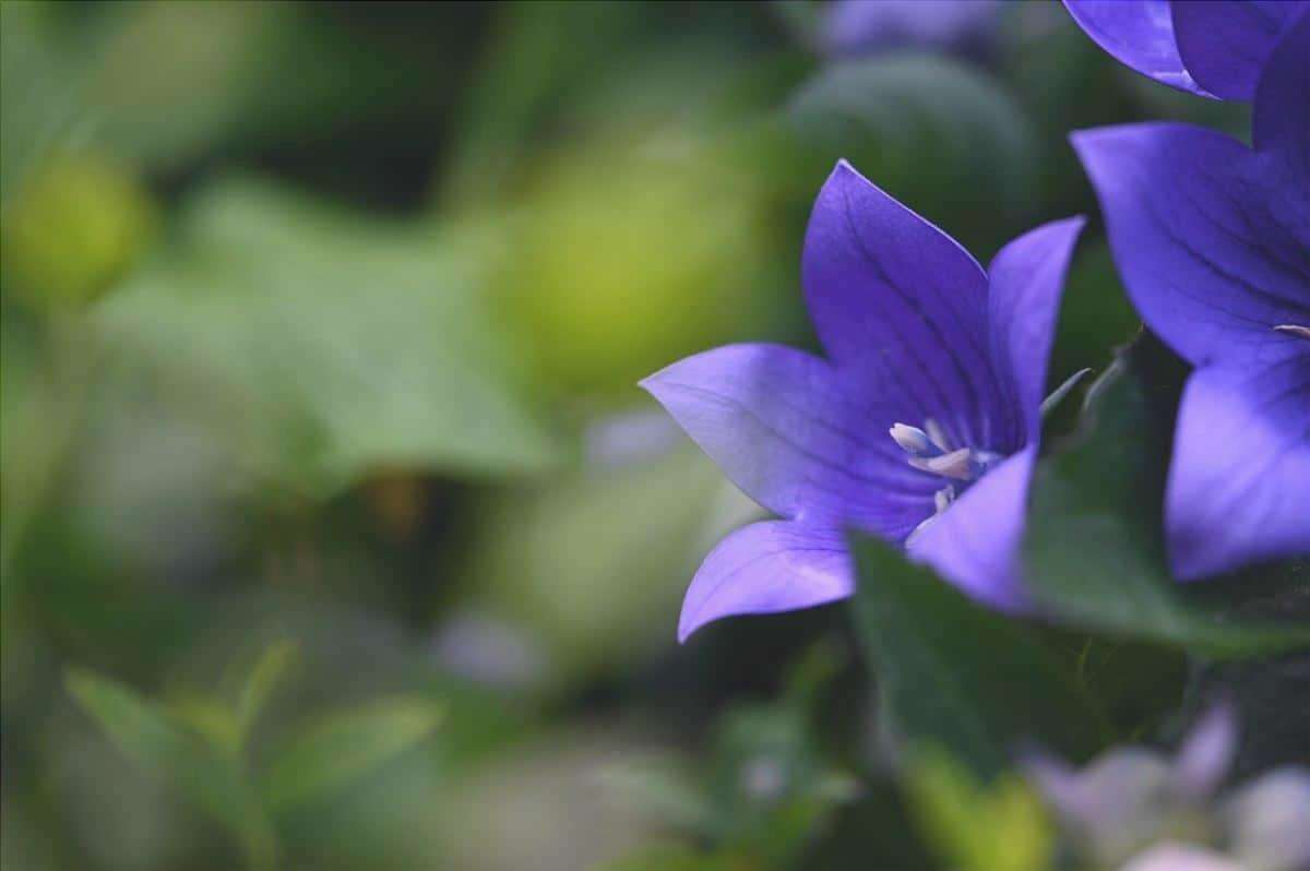 Il Platycodon è un'erba da fiore a forma di campana.