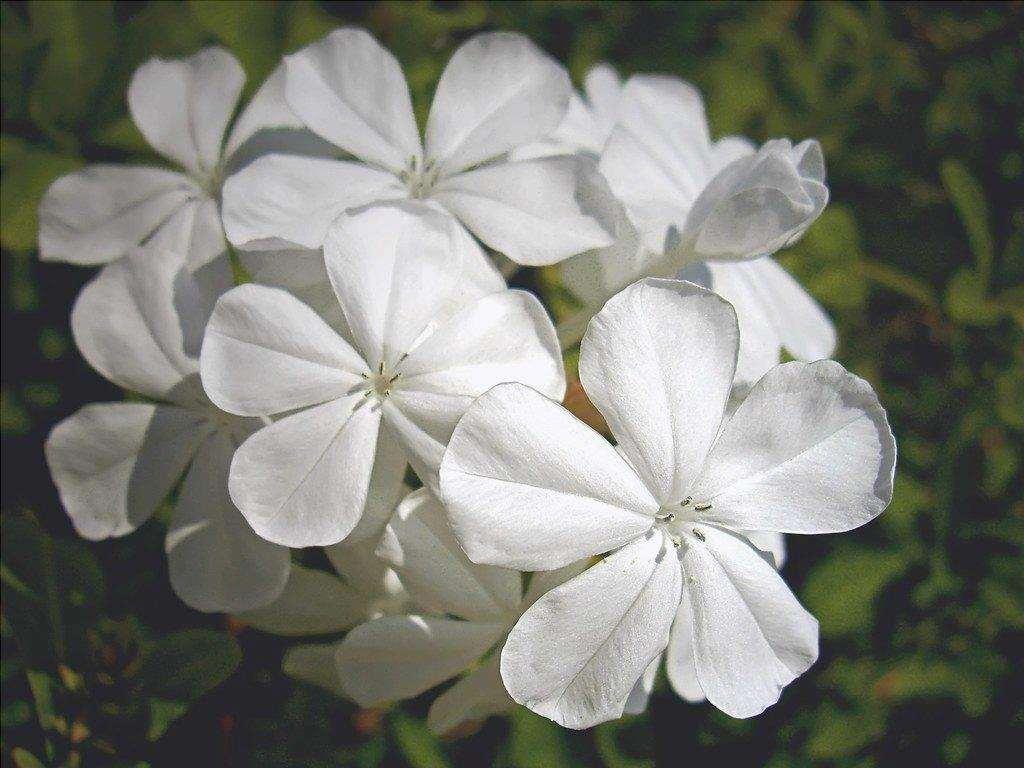 Vista di Plumbago alba, fiori bianchi
