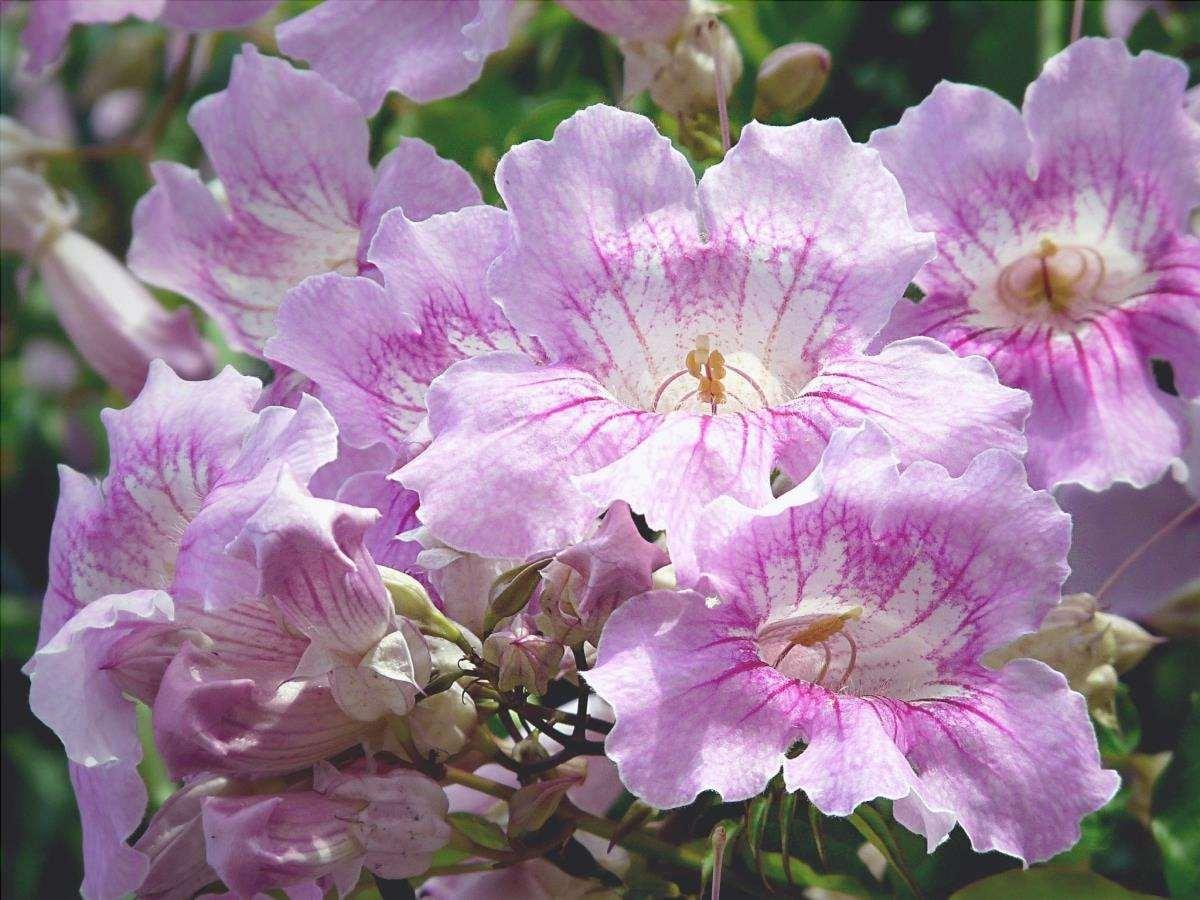Podranea è un rampicante con fiori rosa.