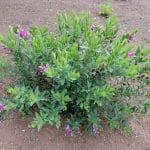 polygala myrtifolia e1612184428512 1