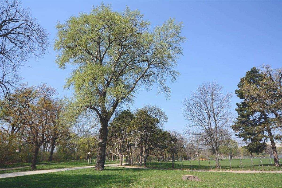 Il Populus canescens è un albero deciduo.