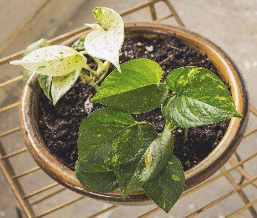 Il Potos è una pianta rampicante facile da curare.