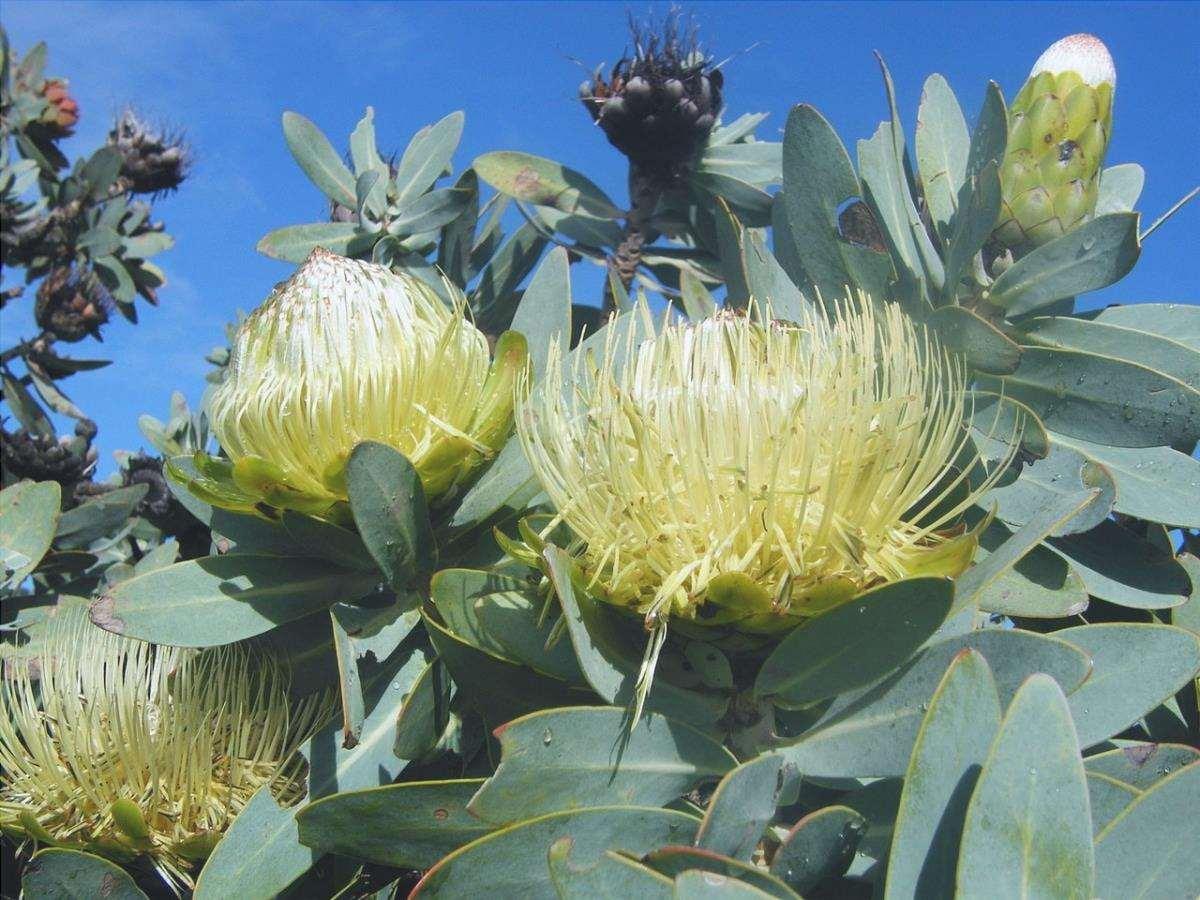 La Protea nitida è un arbusto che produce fiori tondi gialli.