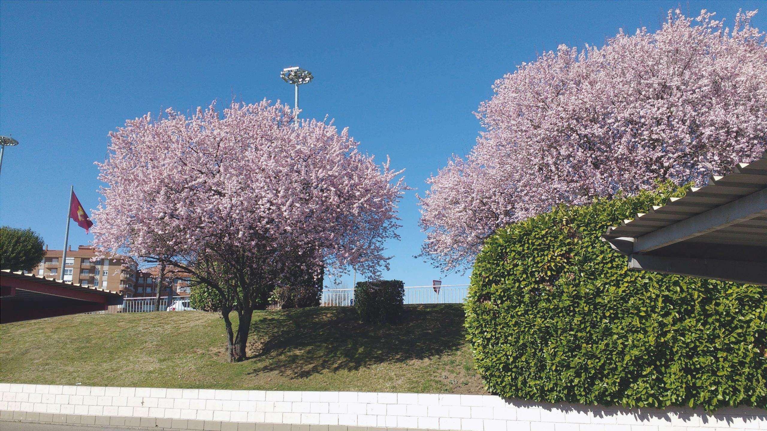 Prunus cerasifera ha fiori in primavera