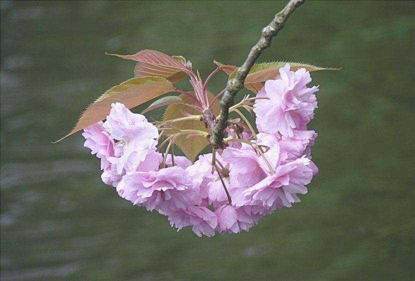 I fiori del Prunus Kanzan sono doppi