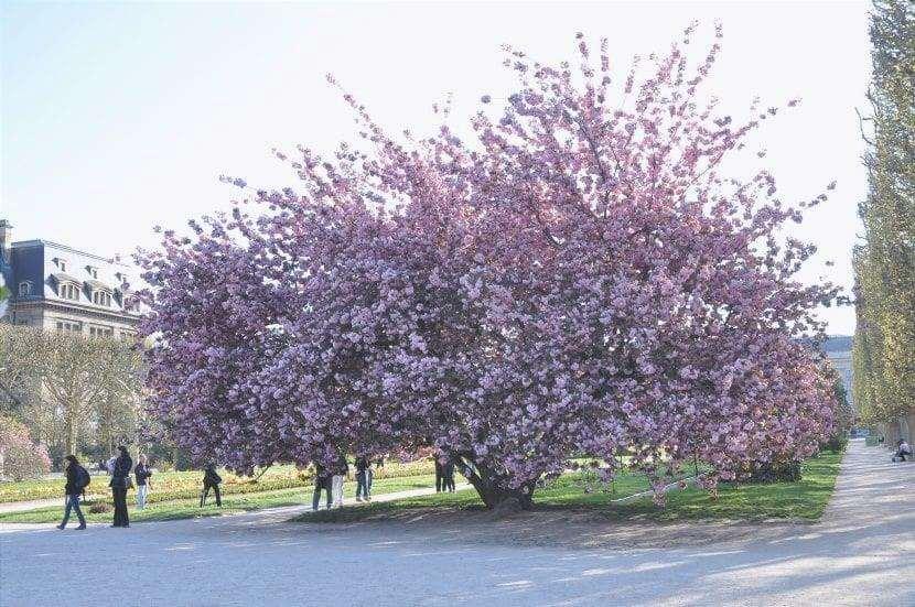 Il Prunus serrulata è un albero deciduo.