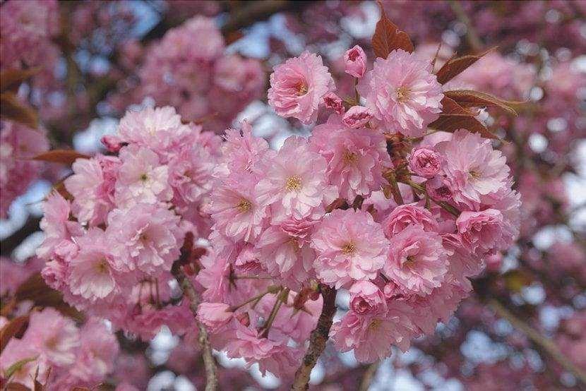 I fiori di Prunus serrulata Kanzan sono rosa.