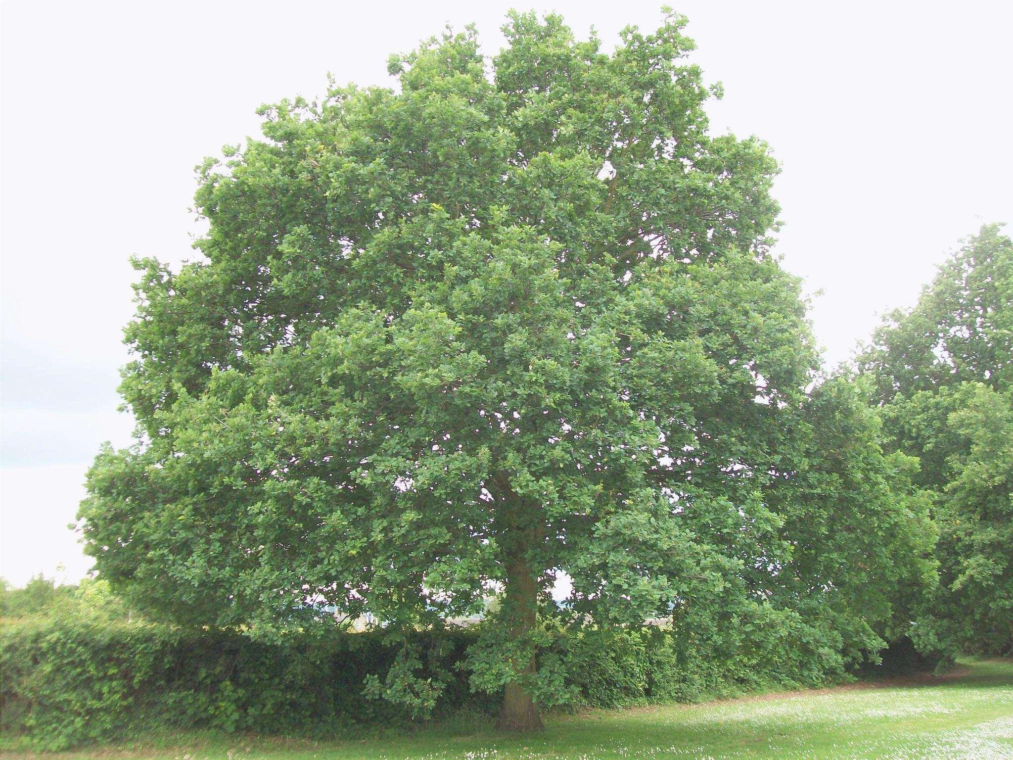 Vista di Quercus robur