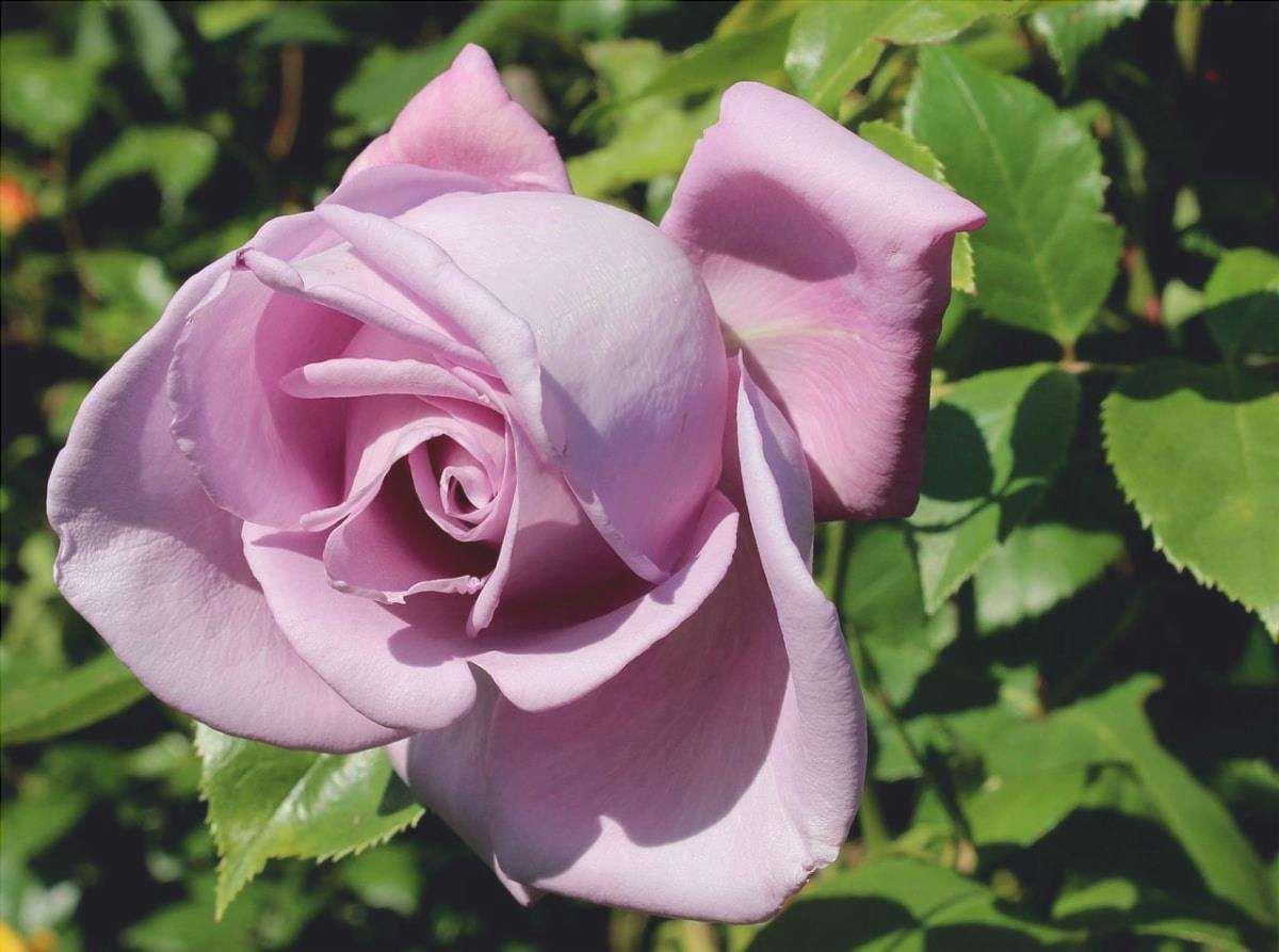 I cespugli di rose profumate stanno benissimo in un giardino profumato