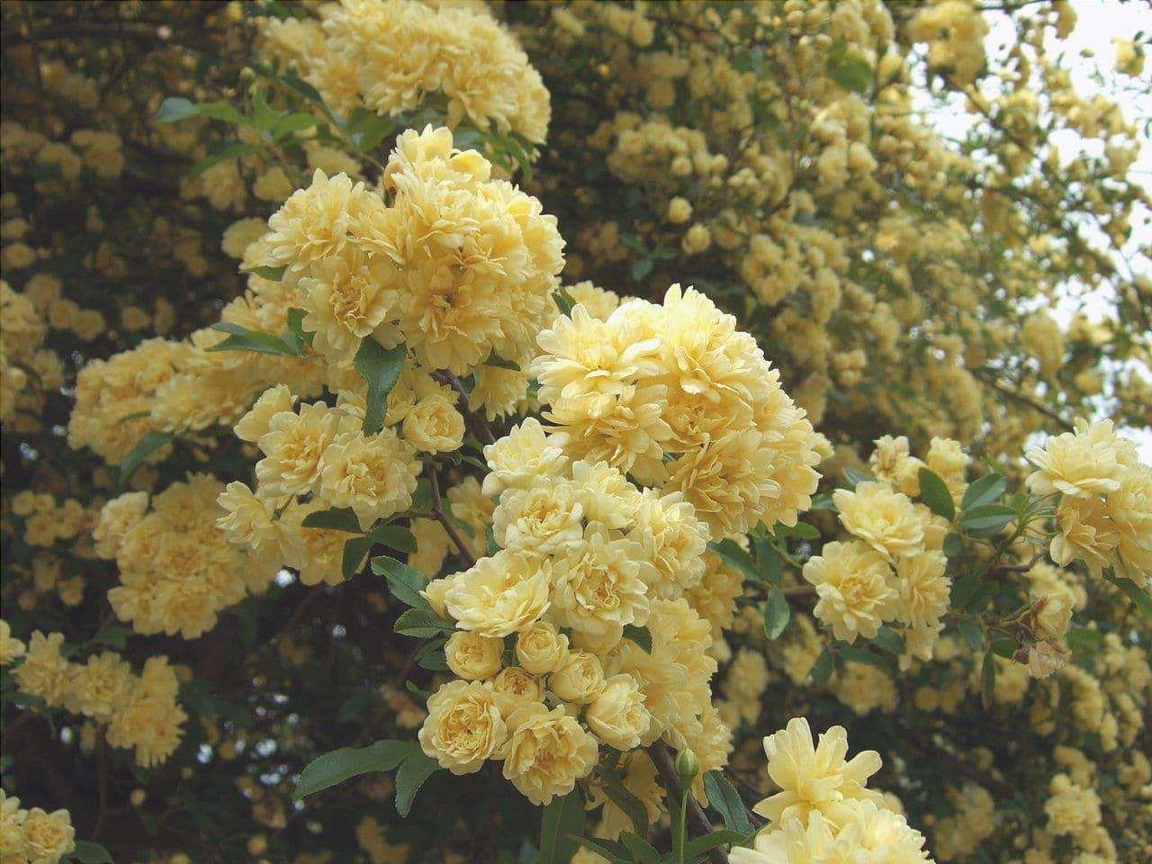 Rosa banksiae è una pianta con fiori gialli.