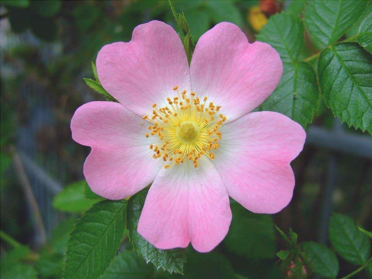 Rosa canina ha fiori rosa
