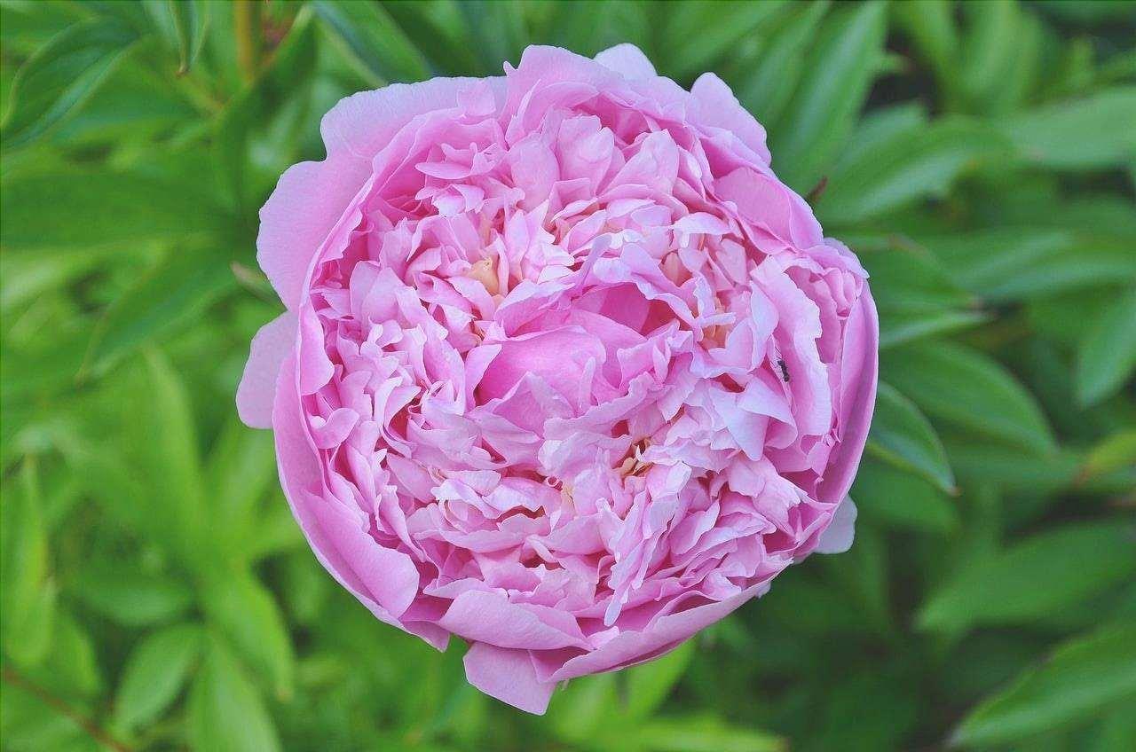 La Rosa damascena è un ibrido