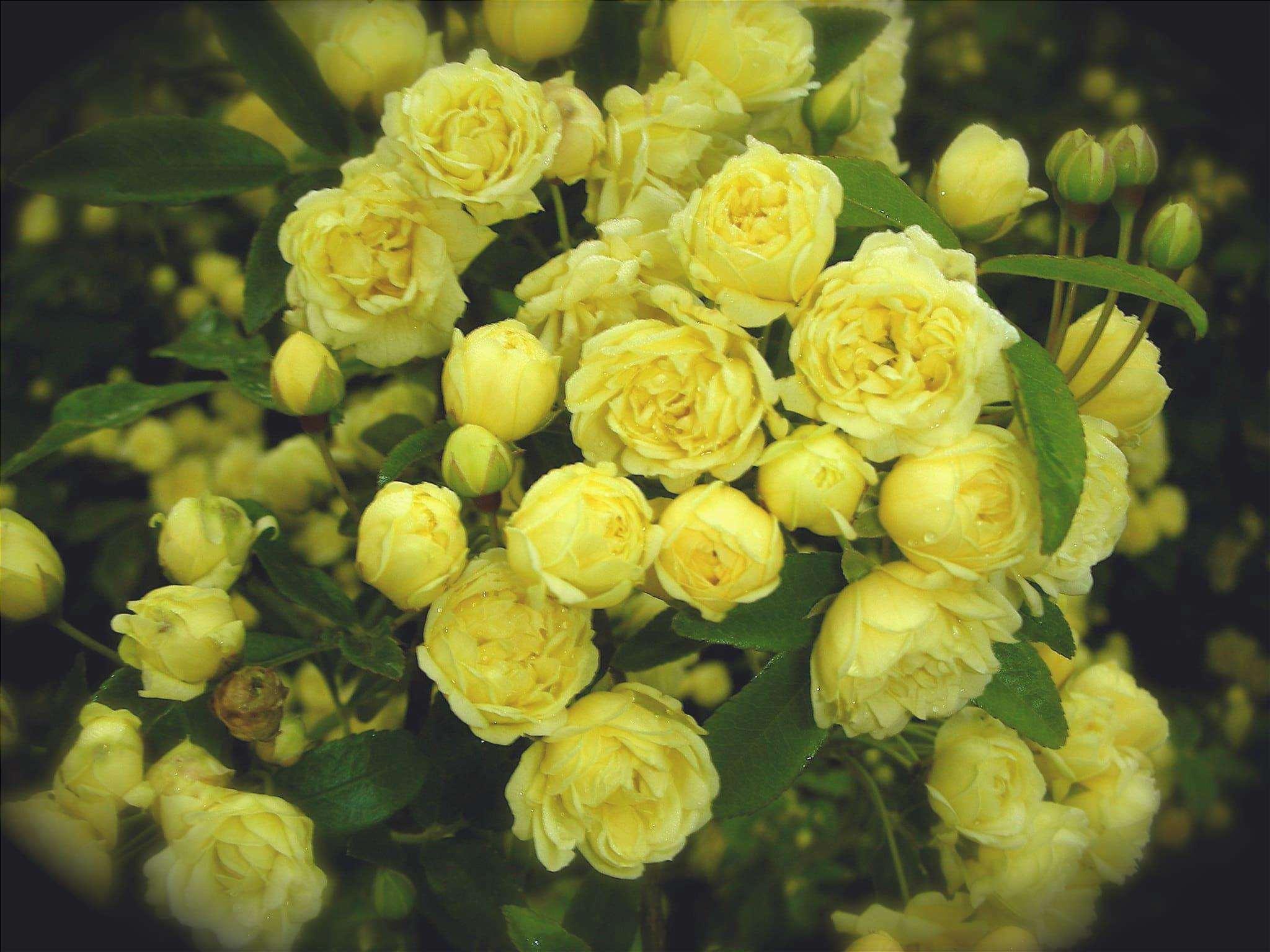 La rosa pitimini è una piccola pianta.