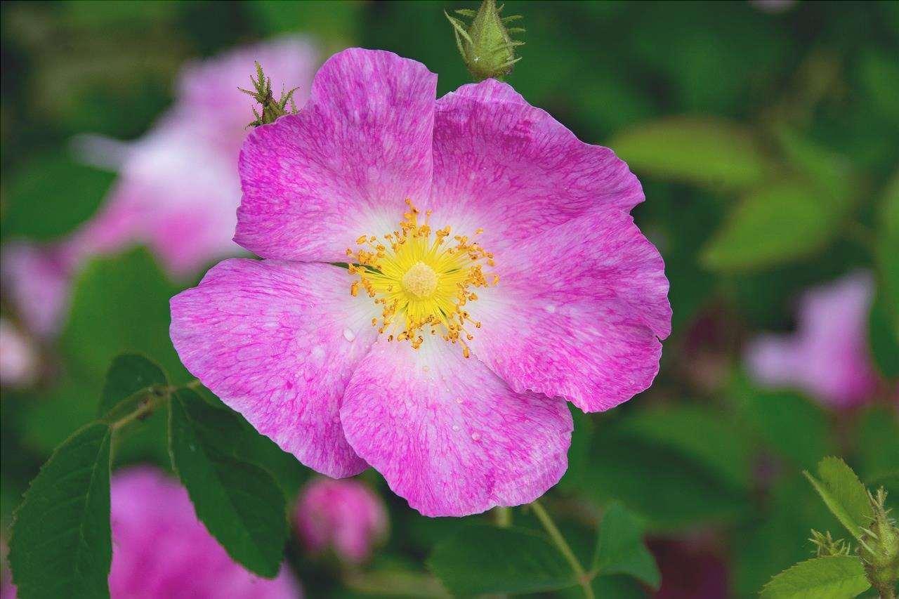 La Rosa gallica è una pianta arbustiva.